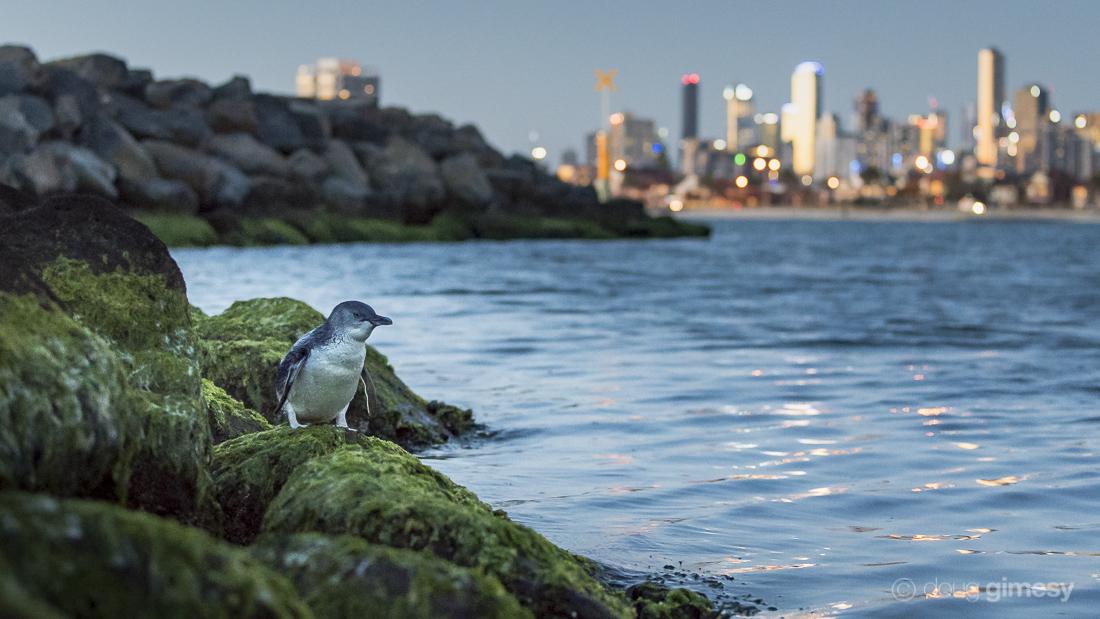 Small penguin, big city lights