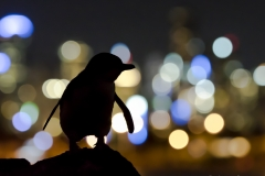 Small penguin, big city lights