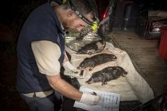 Death traps - 5 platypus found dead in just 2 opera house nets - Victoria