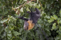 A Grey-headed Flying-fox, Pteropus poliocephalus, tries to chew its way out of fruit tree netting.